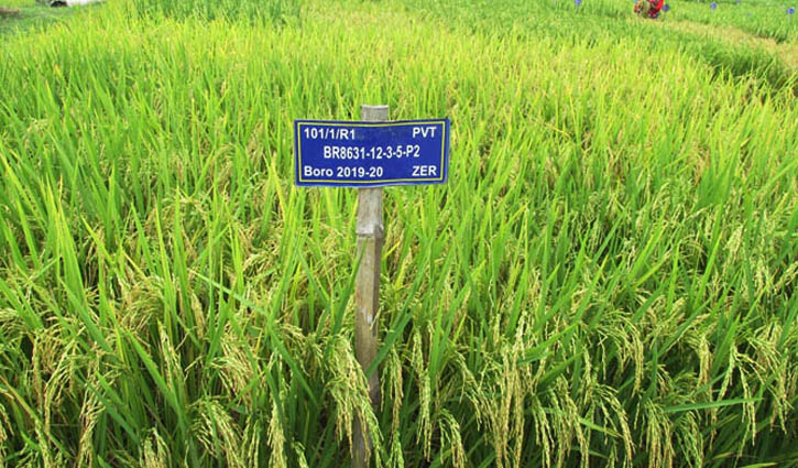 BRRI`s Century in Breeding; High zinc rich rice has launched