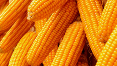 Maize production will10 million tons in 5 years in Bangladesh