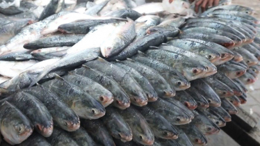 Bangladesh: Hilsa production has almost doubled in ten years!
