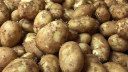 Farmers benefited from early variety potato cultivation
